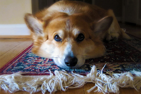 How to Get Dog Smell Out of Area Rug