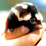 How to Get Skunk Smell Off Hands