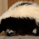 How to Get Skunk Smell Out of Furniture