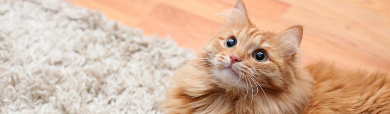 How to get rid of cat pee smell in carpet